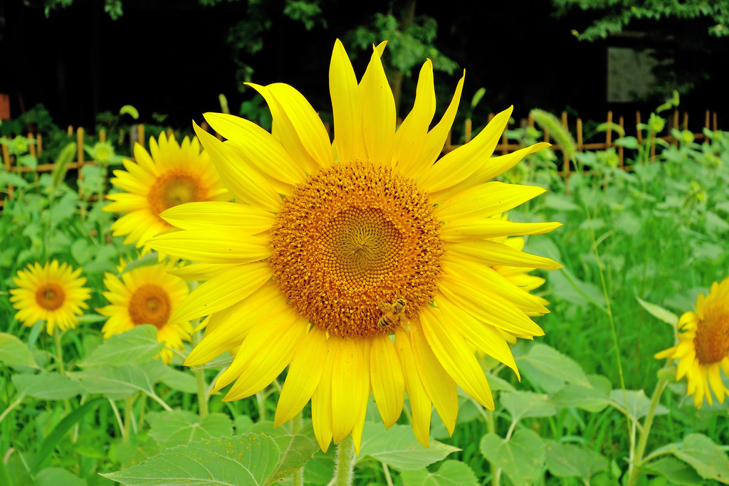 SONY Cyber-shot DSC-RX100 Test Shot (Sunflower)