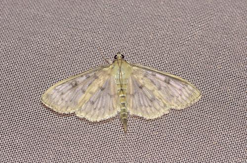 <p><i>Herpetogramma pertextalis</i>, Crambidae<br /> Simon Fraser University, Burnaby, British Columbia, Canada<br /> Nikon D5100, 105 mm f/2.8<br /> July 24, 2013</p>