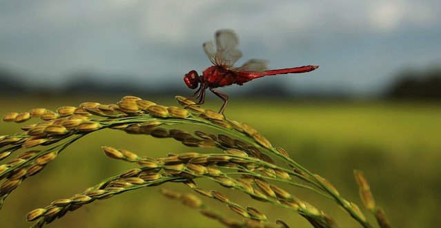 Dragonfly resting on rice