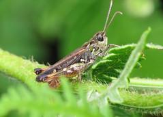 Mottled Grasshopper - Myrmeleotettix maculatus