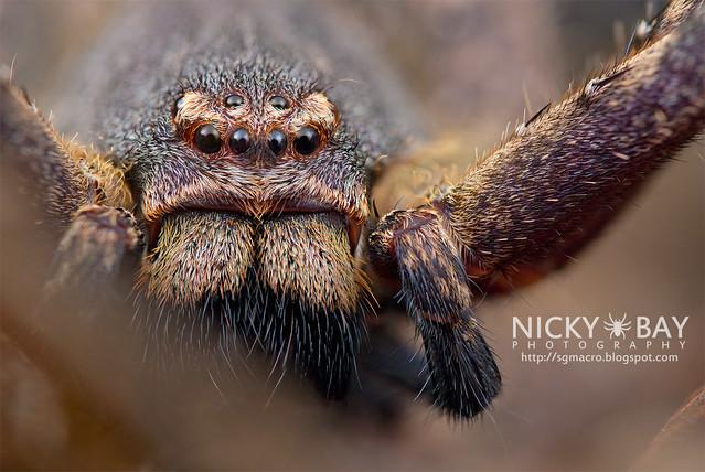 Huntsman Spider (Sparassidae) - DSC_1160