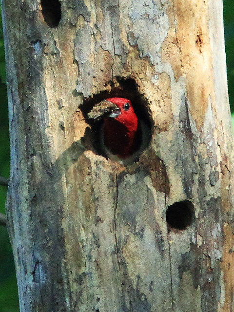 Red-headed Woodpecker South Nest 06-20130820