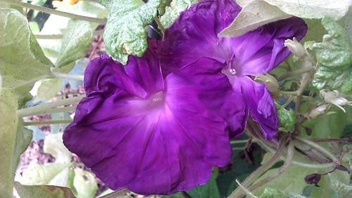Ipomoea nil Ginro 2 by Gerris2