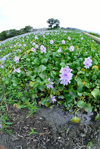 Water hyacinth of former site of Yakushi-ji Temple No.1.