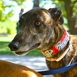 Greyhound Adventures at Webb Memorial Park, Weymouth MA  September 15th 2013
