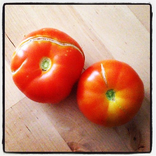 Accidental gardening: Tomatoes that grew out of my compost pile along with a butternut squash!