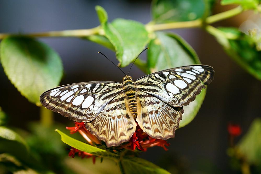 美洲蛺蝶 Parthenos sylvia-1