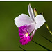 Bamboo Orchid - Photo (c) Jose Amorin, some rights reserved (CC BY-NC-SA)