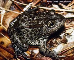 """Mississippi gopher frog """"aka"""" Dusky gopher frog (Rana sevosa)"""