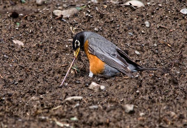 Robin~2