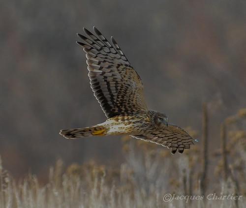 CCSP Harrier hawks 094