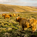 Highland Cows on Malham Moor