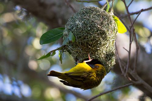 Cape Weaver by andiwolfe