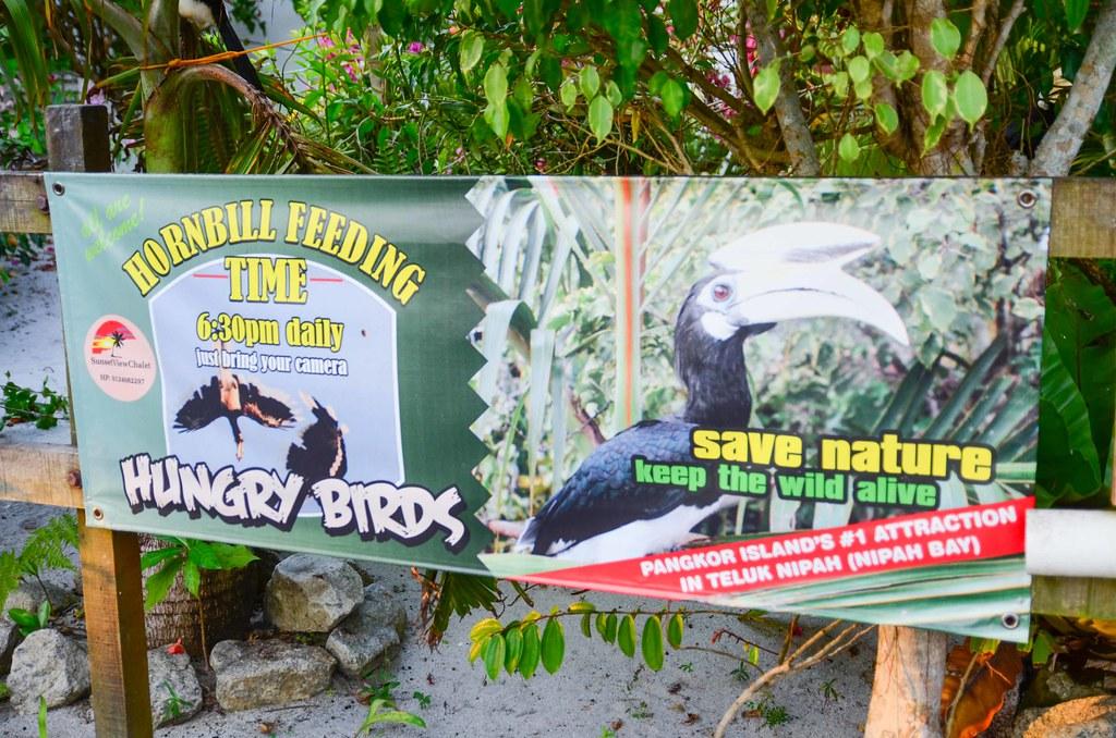 Pangkor Hornbill