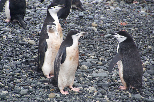 516 Kinbandpinguins