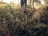 Ash tree in hedgerow, Staple Lane, Clandon TQ 064503