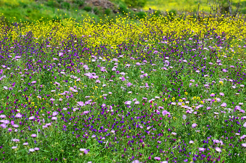 Wild flowers in March, Tenerife