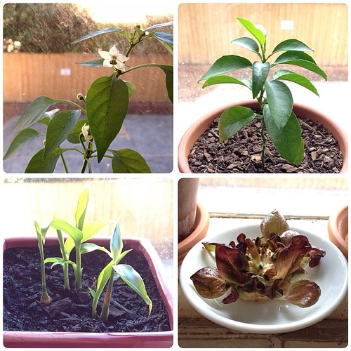 Stuff on my kitchen windowsill. Clockwise from top left chillies, fingerlime, lettuce, ginger. #growitlocal #growyourown #urbangardening #nofilter