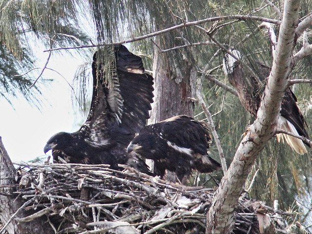 Bald Eaglets younger Glory flapping 20140314