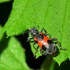 Unidentified red and black beetle by openspacer