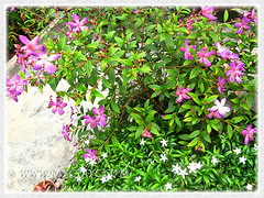 Tibouchina, a purplish-pink cultivar - 3 March 2014