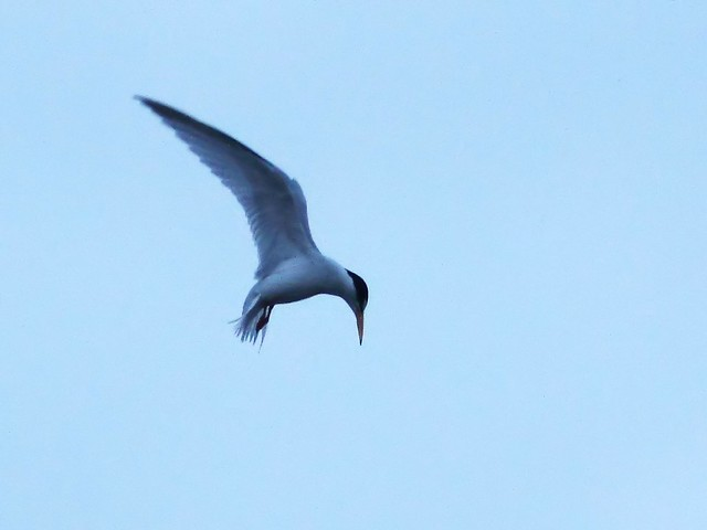 Least Tern hovering 20140416