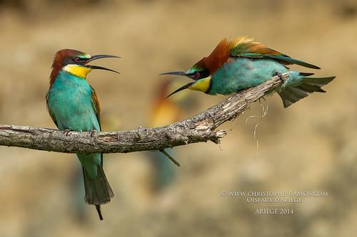Guêpier d'Europe - Merops apiaster (Oiseaux d'Ariège) 10 Mai 2014 #2
