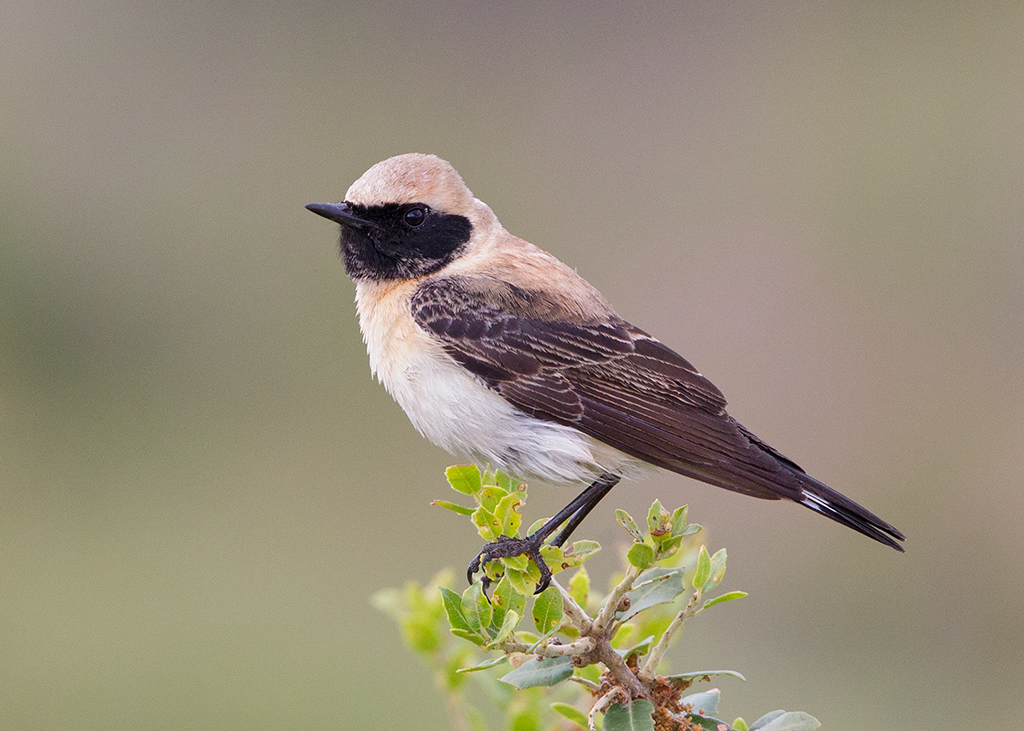 Black-eared Wheatear 2014-05-05
