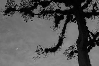 Ceiba Tree, Tikal, Guatemala.
