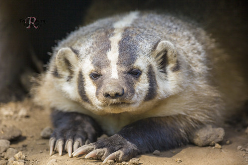 Badger Closeup