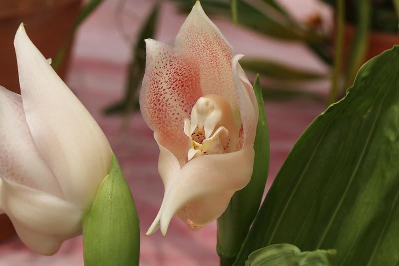 Anguloa virginalis  アングロア・ウィルギナリス