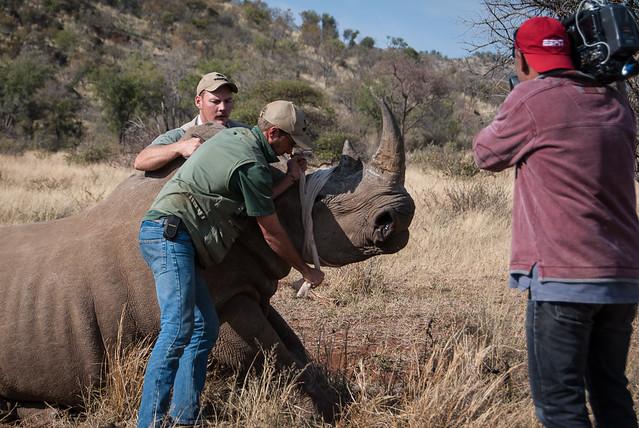 Holding rhino