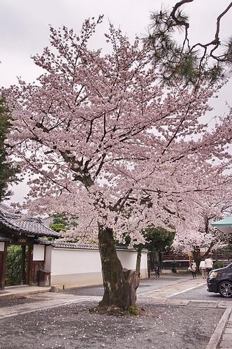 【写真】2013 桜 : 本隆寺/2020-05-19/IMGP9116