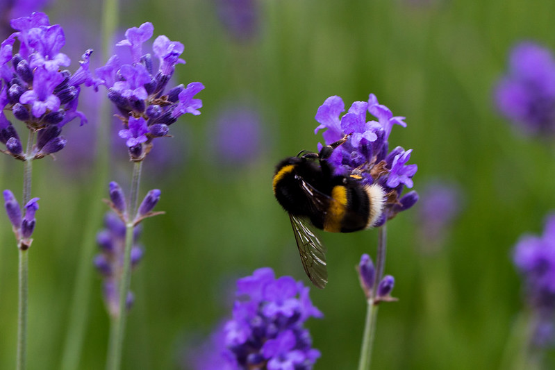 White tailed bee on lavender