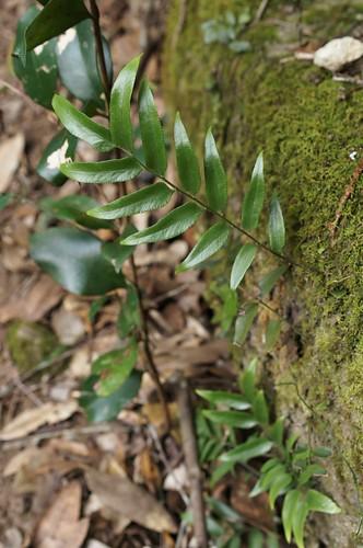 Arthropteris tenella 130622-8954
