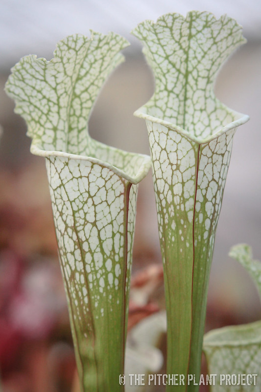 Sarracenia 'Hurricane Creek White' - Clone C