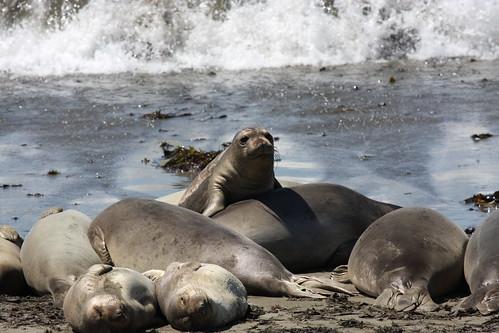 King of Elephant Seal Mountain