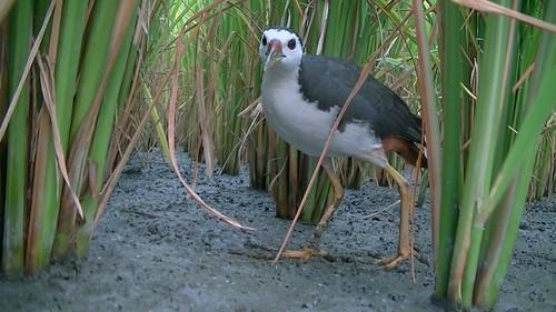 白腹秧雞。(圖片來源:新竹林管處)