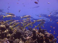 coral reef(1.0), coral(1.0), fish(1.0), coral reef fish(1.0), sea(1.0), marine biology(1.0), natural environment(1.0), underwater(1.0), shoal(1.0), reef(1.0),