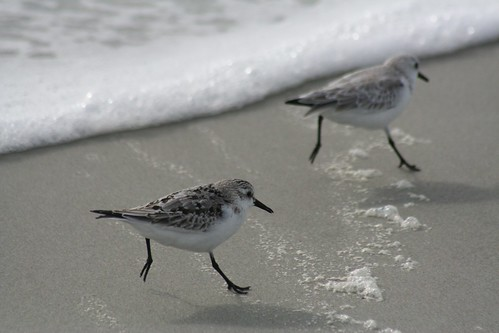 The Great Sanderling Race