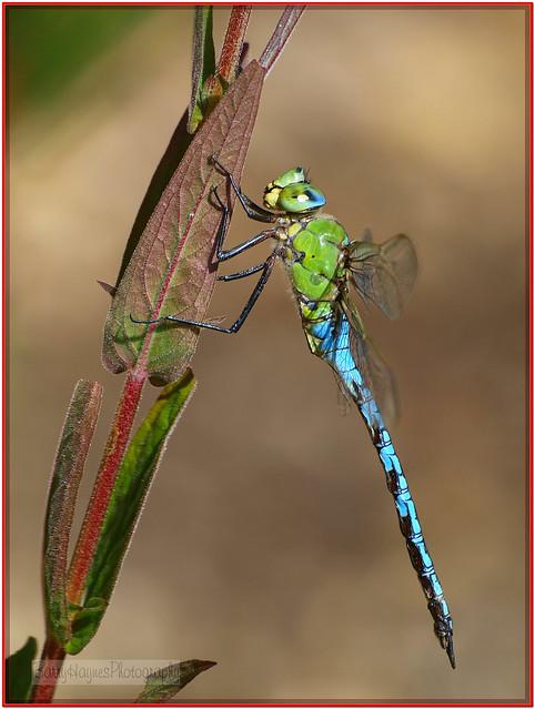 Dragonfly (89)