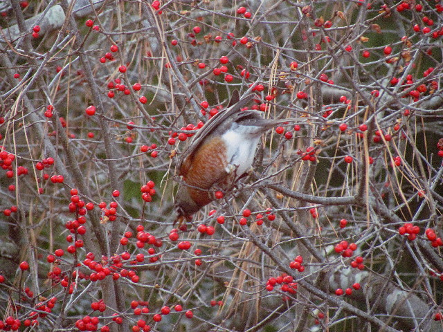 Robin on winterberry1R 12:27:13