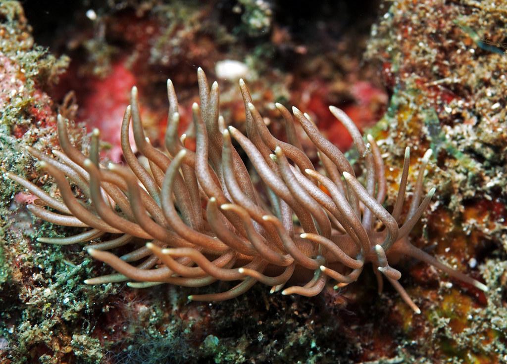 Phyllodosmium briareum