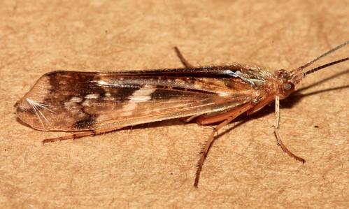 Trichoptera 11924
