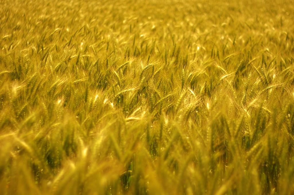 麥穗。微風
