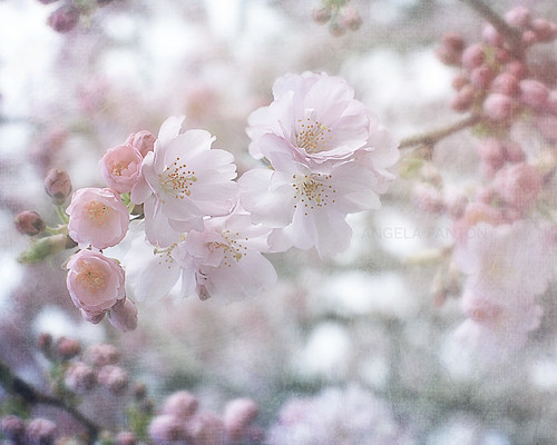 Blossoming Blossoms