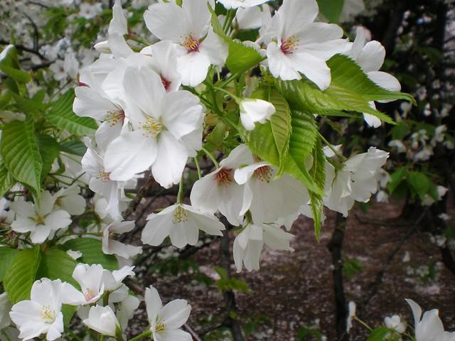 Sakura at Shinjuku Gyoen Park