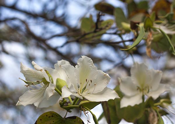fashionpea_white_blossom8