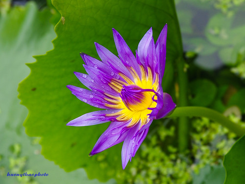 Sunday waterlily