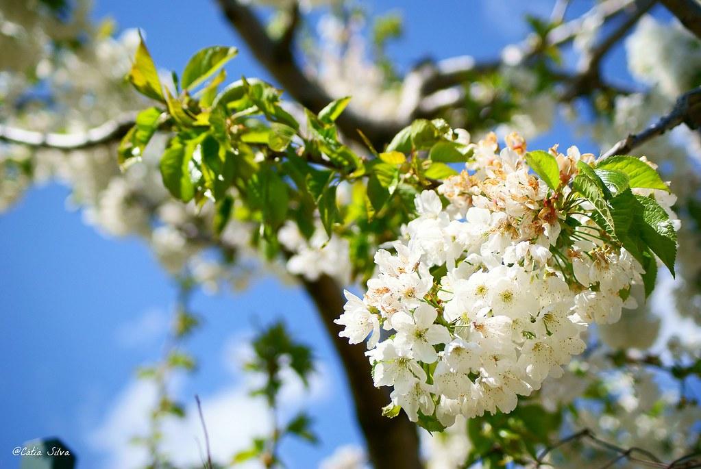 Extremadura-Valle del Jerte-Cerezo en Flor (15)